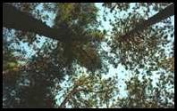 Algonquin Provincial Park, Canada: tree tops - the view from the ground at our camp site